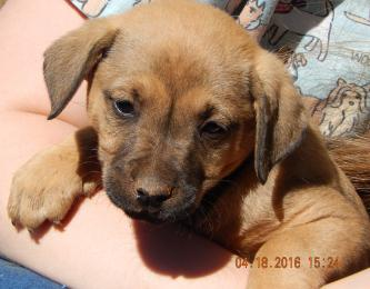 adopt australian shepherd boxer puppy brown black female shepherd lab labrador toronto ontario syracuse rochester buffalo niagara falls