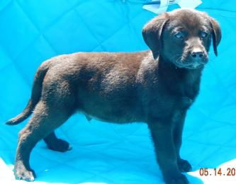 adopt black male labrador lab shepherd puppy pittsburg williamsport albany west sand lake