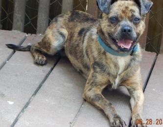 adopt young adult pug cattle dog, aussie, blue heeler niagara falls, syracuse, rochester buffalo toronto ontario