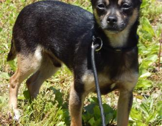young adult black tan male chihuahua small breed adult Niagara Falls Buffalo Rochester Syracuse