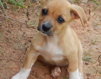 adopt puppy tan lab laboratory retriever Labradors West Sand Lake Albany Niagara Falls Syracuse
