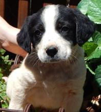 adopt black white border collie australian shepherd puppy pittsburg williamsport albany west sand lake