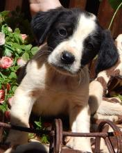 adopt black white border collie australian shepherd puppy pittsburg williamsport albany west sand lake