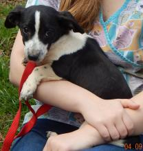 adopt black white young corgi terrier puppy young small breed niagara falls, albany, williamsport
