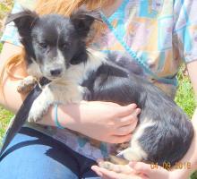 black white male adopt corgi terrier small breed young puppy fuzzy ears niagara falls buffalo, toronto, ontario, brattlesboro