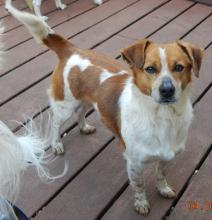 adult young jack russell terrier brown white adopt albany west sand lake pittsburgh williamsport