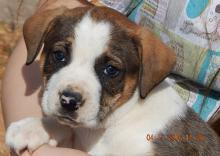 adopt australian shepherd boxer puppy brown white toronto ontario syracuse rochester buffalo niagara falls