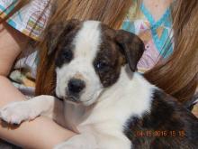 adopt boxer australian shepherd puppy burlington white river junction vermont maine