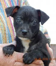 black white boston terrier chihauhau puppy adopt west sand lake, albaby, niagara falls, burlington
