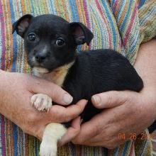 adopt boston terrier chihauhau puppy niagara falls, albany, williamsport