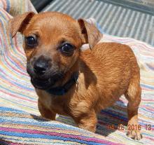 brown chihauhau puppy albany, brattlesboro, williamsport, pittsburg