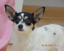 adopt young toy fox terrier special needs deaf adult buffalo, albany, burlington