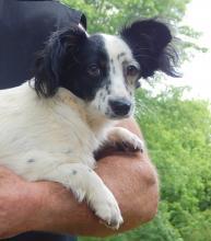 adopt  puppy young adult white black female shitzu papillon toronto ontario syracuse rochester buffalo niagara falls
