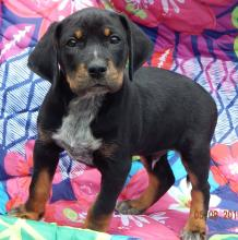 adopt black tan puppy rottweiler ontario, toronto, burlington, white river