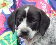 adopt  puppy white black blue heeler cattle dog shepherd toronto ontario syracuse rochester buffalo niagara falls