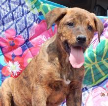 adopt puppy rottweiler shepherd brown, syracuse, williamsport, ontario, toronto