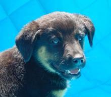 adopt black brown tan sitting male labrador lab shepherd puppy pittsburg williamsport albany west sand lake