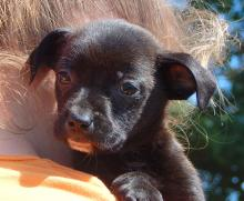 adopt black white chin small female labrador lab terrier puppy pittsburg williamsport albany west sand lake