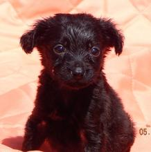 adopt black fuzzy female labrador lab puppy pittsburg williamsport albany west sand lake
