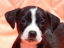adopt black white short haired female labrador lab terrier puppy pittsburg williamsport albany west sand lake