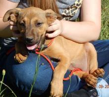 adopt puppy Brown German Shepherd Lab large breed Buffalo Syracuse Niagara Falls West Sand Lake Albany Williamsport Burlington