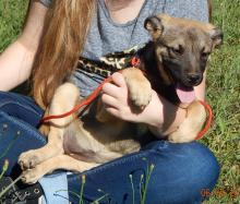 adopt a puppy German Shepherd Labrador Retriever Syracuse Buffalo Niagara Falls Ontario West Sand Lake Albany