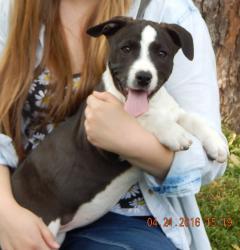 Oona-border collie/corgi 12 wks | Carolina Canine Rescue