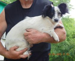 adopt young puppy papillon shitzu black white vermont maine canada white river junction burlington