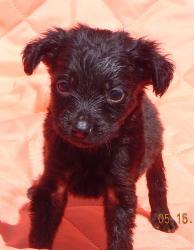 adopt black small terrier lab labrador puppy williamsport,  randolph, ontario, toronto syracuse, niagara falls