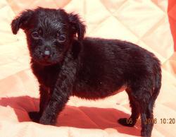 adopt black fuzzy small puppy female terrier lab labrador buffalo syracuse, vermont white river junction burlington williamsport