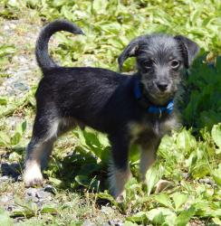 adopt puppy York shire terrier Syracuse Niagara Falls Buffalo Ontario Williamsport Burlington