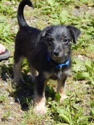 adopt black and tan male York shire terrier puppy small breed Pittsburgh Albany West Sand Lake Canada