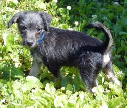 adopt Yorkie puppy mail White Sulphur Springs Pittsburgh New York Vermont Maine